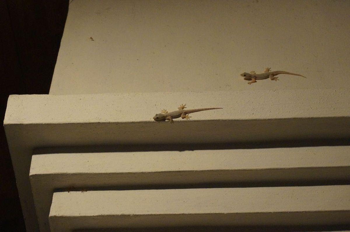 les geckos sont de la partie