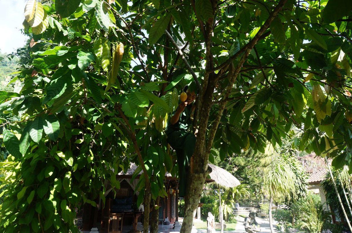 Regardez bien, il y a un notre cueuilleur de cacao dans l'arbre