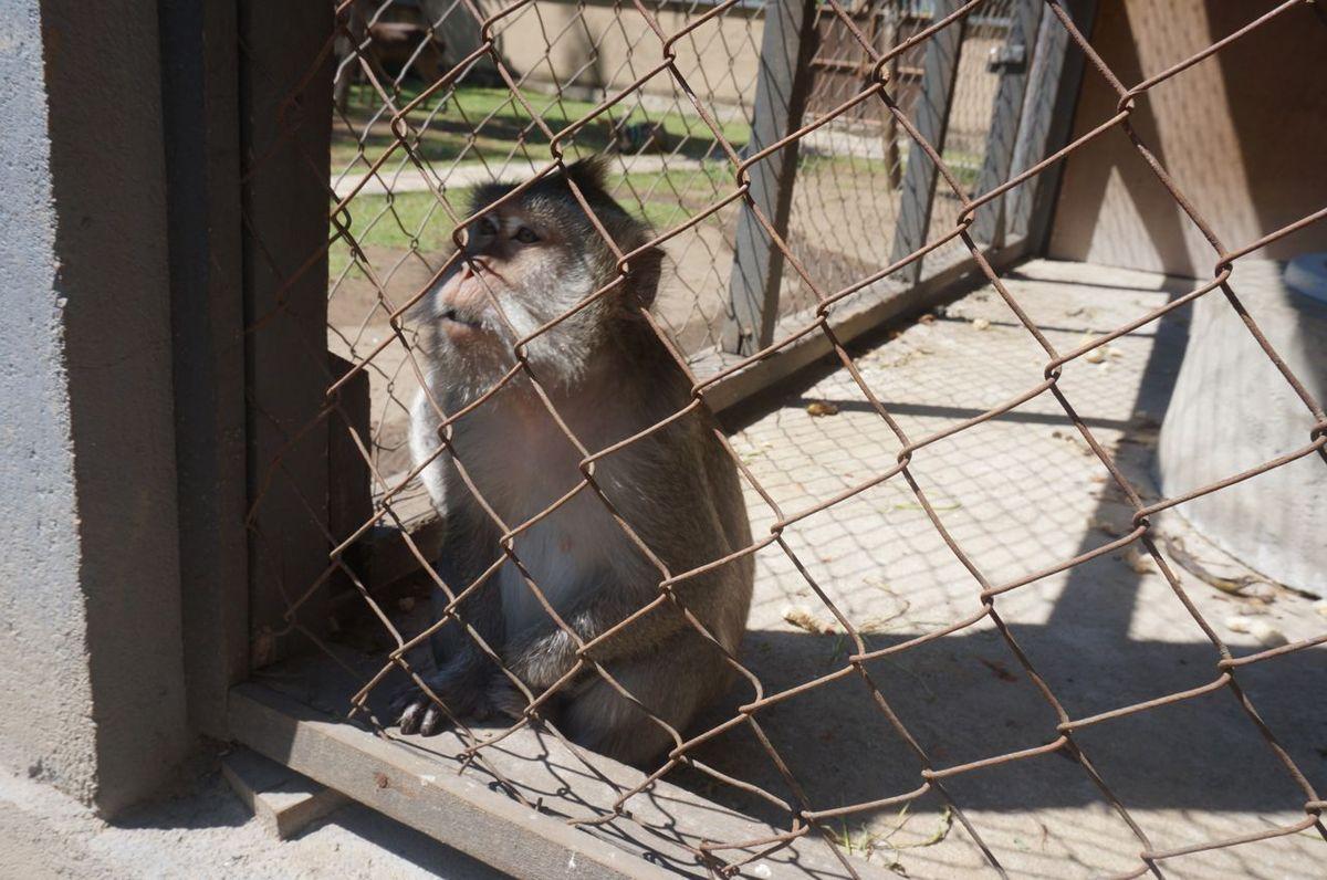 Un petit singe de Lombok ( femelle). On nous explique que pendant la saison sèche, on entends ces petits singes crier dans les montages. Ils rejoignent les portes de l'hôtel pour chercher de la nourriture. Malheureusement, nous n'avons pas eu la chance de voir ces sympathiques petites créatures en liberté.